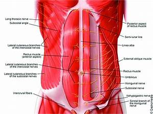 Anatomy Of The Neuraxis  Thoracic And Abdominal Walls  Upper And Lower Limbs