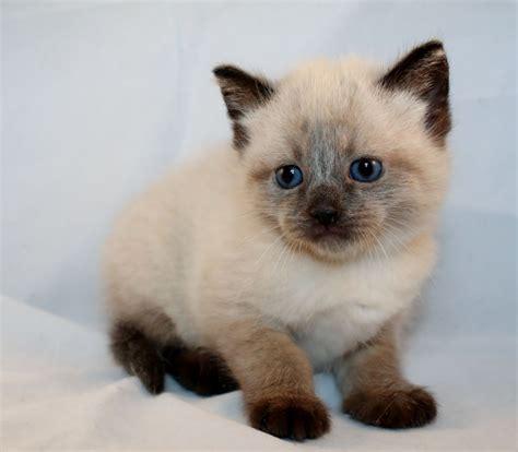 kitten for sale 8 week kittens for sale half siamese arundel west