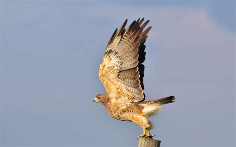 Beautiful Illustrative Wallpapers by Wallpaper Wiki Most Beautiful Falcon Wallpapers Pic