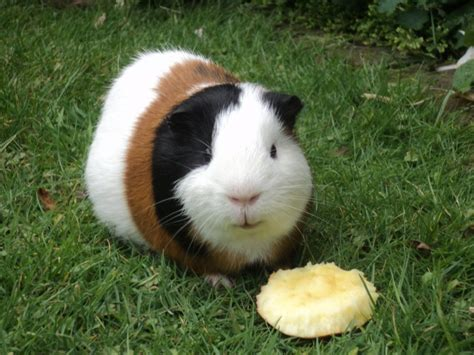 guinea pig breeds guinea pig breeds hd wallpaper animals wallpapers