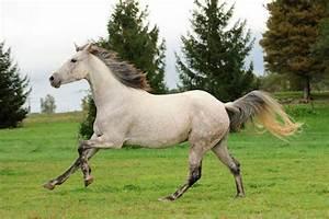 2 Chevaux Occasion : association fran aise du cheval barbe chevaux vendre ~ Medecine-chirurgie-esthetiques.com Avis de Voitures