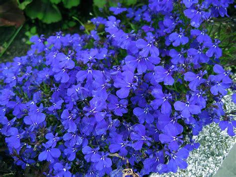 blue lobelia lobella lobelia http lomets com