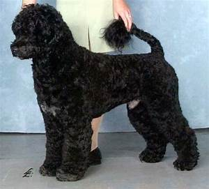 portuguese water dog haircuts portuguese water dog ...