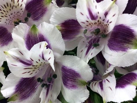 mayfair purple alstroemeria flowerpower pinterest