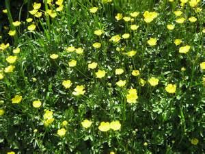 Yellow Buttercup Flower Looks Like