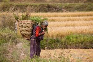 Photo: Old woman carrying a basket of rice stalks on her ...