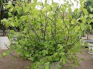 Planter Un Figuier : bien choisir une vari t de figuier ~ Melissatoandfro.com Idées de Décoration