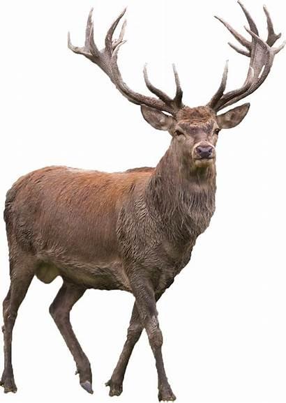 Deer Transparent Elk Reindeer Clipart Clip Golden