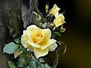 Gelbe Rose Bedeutung : gelbe rose foto bild natur kreativ natur bilder auf fotocommunity ~ Whattoseeinmadrid.com Haus und Dekorationen