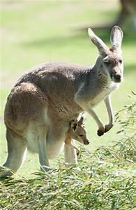 Red Kangaroo and Joey | Exotic Animals | Pinterest