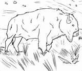 Buffalo Coloring Coloringbay sketch template