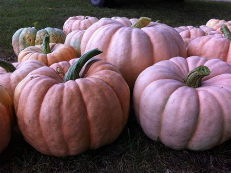 tile setter salary australia 100 pumpkin patch near greenville nc gallery pink