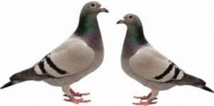 Faire Fuir Les Pigeons : les pigeons s 39 en d barrasser tout pratique ~ Melissatoandfro.com Idées de Décoration