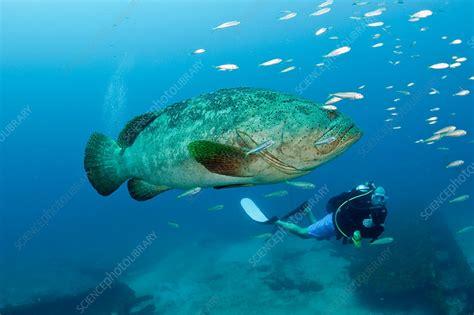 grouper goliath diver science