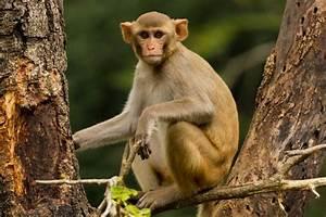 Man  72  Killed By Group Of Aggressive  U0026quot Rogue U0026quot  Monkeys