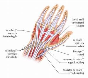 Hand Tendon Anatomy