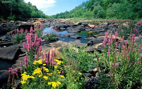 river lupine purple flowers woods stones wisconsin state