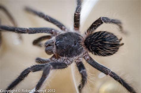 Tarantula Shedding Its Exoskeleton by 100 Tarantula Shedding Its Exoskeleton Spider