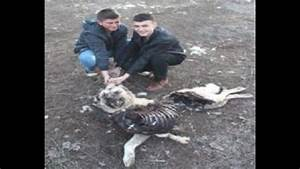 Pack of Wolves Killed Kangal Dogs & Sheep Flock in Turkey ...