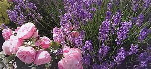 Rosen Und Lavendel : lavendel und rosen ~ Yasmunasinghe.com Haus und Dekorationen