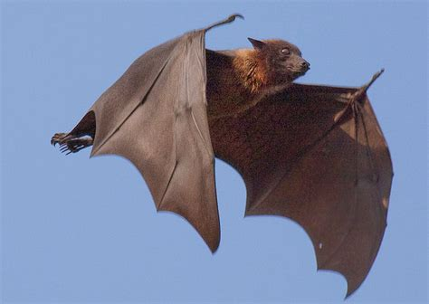 volpe volante blogaurimartini pteropus vyrus o maior morcego do