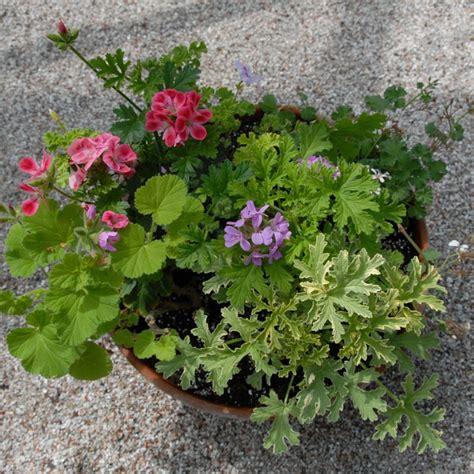 fragrant geranium scented geraniums