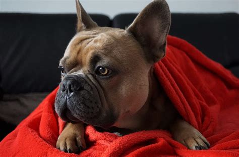 french bulldog history introduction huskerland bulldogs