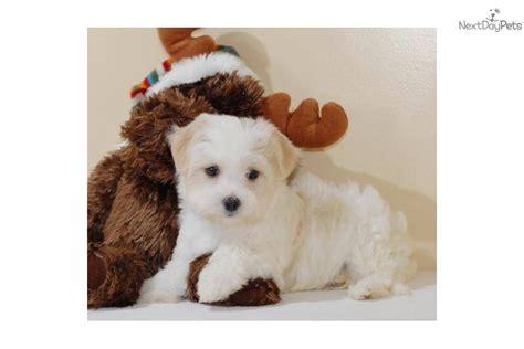 meet danny  cute havanese puppy  sale   danny