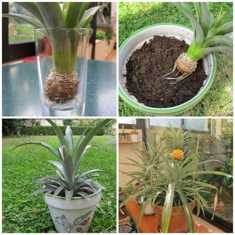 les 25 meilleures id 233 es concernant planter des ananas sur