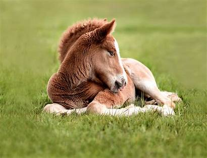 Horse Sleep Horses Desktop Wallpapers Hestar