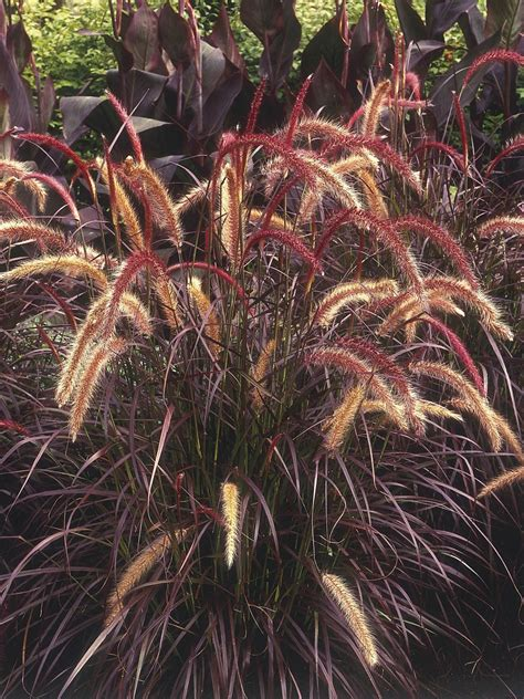 annual grasses for containers types of ornamental grasses diy garden projects vegetable gardening raised beds growing