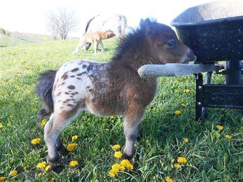 horses mini tiny expensive want