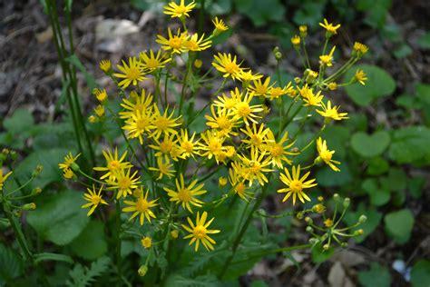 golden ragwort | NATIVE PLANT CENTER
