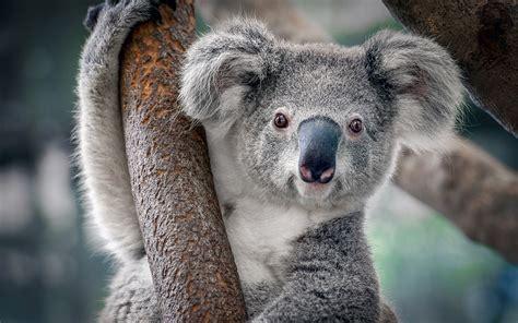 why the heck do so many koalas chlamydia