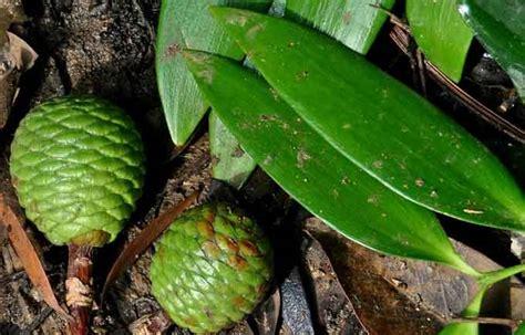 mengenal pohon damar salah satu hasil hutan  kayu