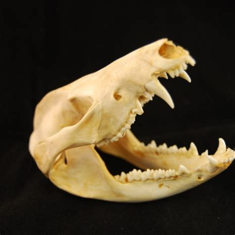 opossum skull natuer museum quality insects