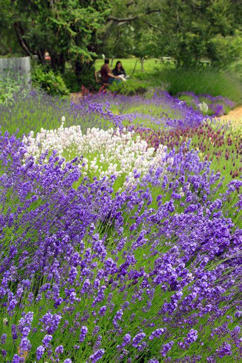 varieties of lavender lavender varieties pelindaba lavender lavender products and lavender farm on san juan island