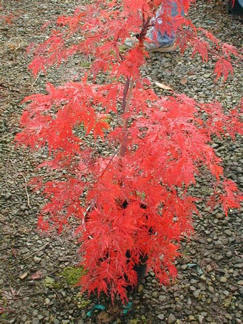 maples for all seasons acer p orangeola here in fall color great little tree to have in the yard or in a container
