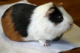 Classroom Pet Guinea Pig