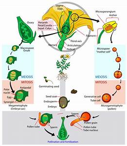 Angiosperm Life Cycle Diagram Svg
