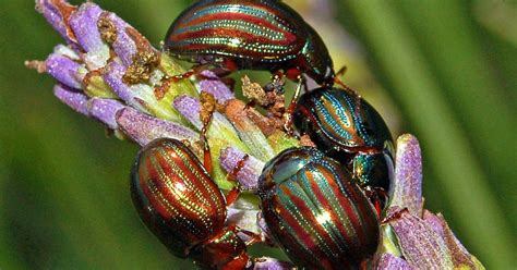 Rosemary Beetle (Chrysolina americana) - Insects   Candide ...
