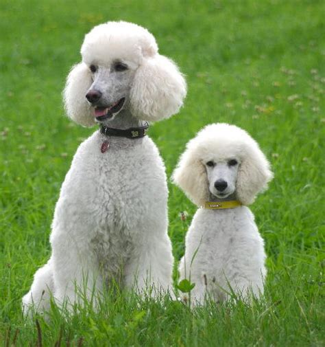 haircuts for yorkie puppies white standards poodles in the world 3644