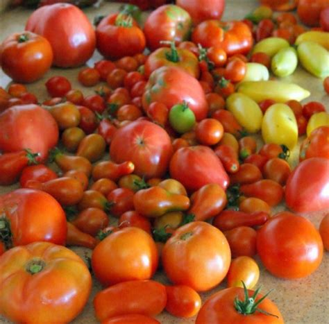 Cooking School Summer Tomatoes by Tomatoes Easy Steps To A Bountiful Summer Harvest