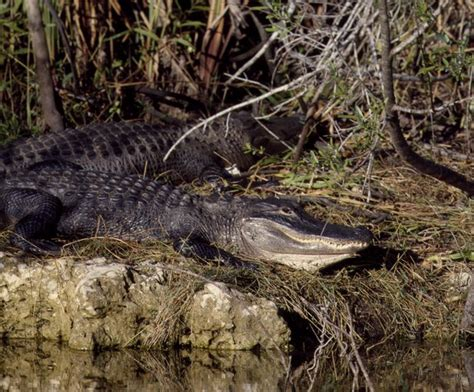 Wakulla Springs Boat Tour by Recently Added Items World Digital Library