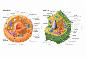 Essential Differences Between Animal And Plant Cells