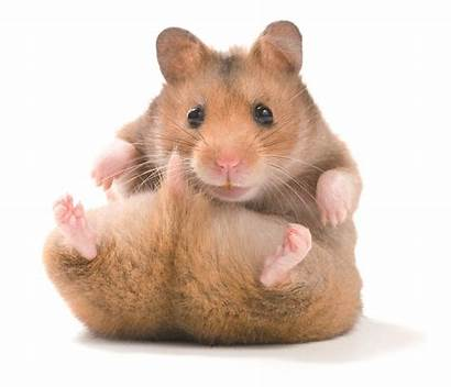 Hamster Syrian Why Website