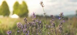 Lavendel Tee Selber Machen : selber machen mit lavendel dr schweikart ~ Frokenaadalensverden.com Haus und Dekorationen