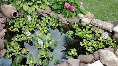 Koi Ponds Pond Ny Water Rochester Fish