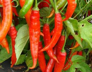 The Cayenne   Types of Hot Peppers   Hot Sauce Fever