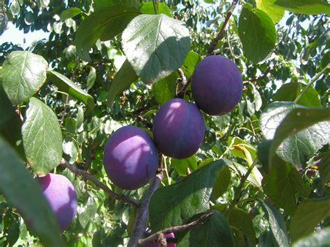 prune tree prune wikipedia